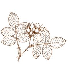 Rosa villosa vector