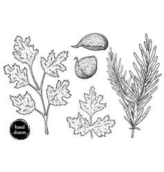 Hand drawn sketch style cilantro rosemary vector
