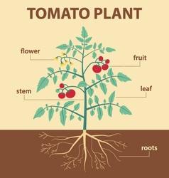 Tomato plant vector