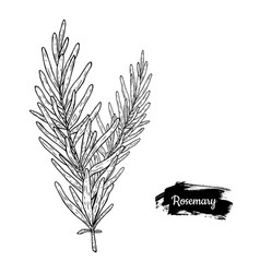 Hand drawn sketch rosemary vector
