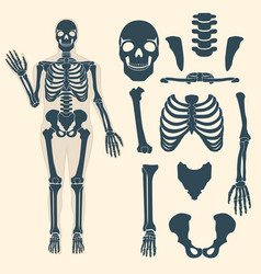 Human skeleton with different parts anatomy of vector