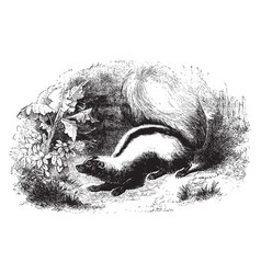 Skunk vintage vector