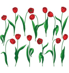 Red tulip set vector