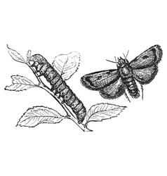 Turnip moth vector image