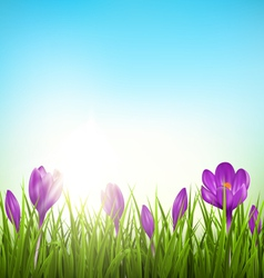 Green grass lawn with violet crocuses and sunrise vector