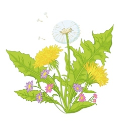 flowers dandelions with leaves vector image