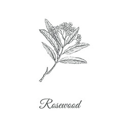 rosewood skech hand drawing branch of a rosewood vector image vector image