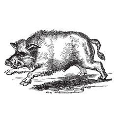 Wild boar vintage vector
