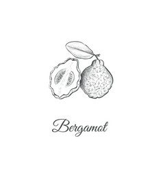Bergamot sketch hand drawing vector