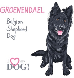 Dog belgian shepherd dog groenendael breed vector