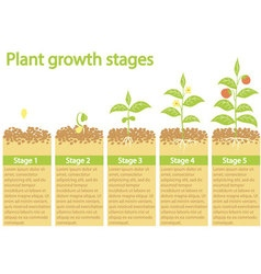 Plants growing infographic Plants growing process vector image