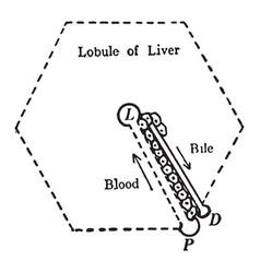 Liver structure vintage vector