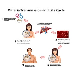 Malaria transmission and life cycle vector