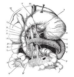 Digestive organs vintage vector