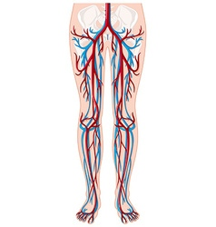 Blood vessels in human being vector