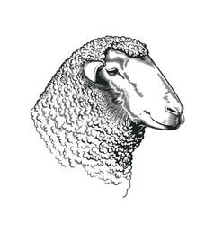 head of ram of dohne merino breed drawn in vintage vector image