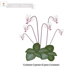 Cyclamen cyprium the popular flower of cyprus vector