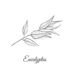eucalyptus sketch vector image