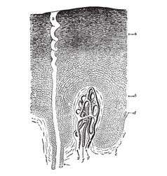Epidermis and sweat gland vintage vector