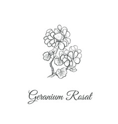 geranium rosat sketch hand drawing vector image