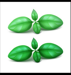 Green fresh basil leaves close up vector