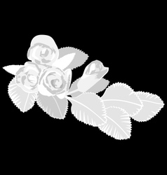 White roses isolated on black vector