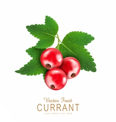 Red currant isolated on a white background vector