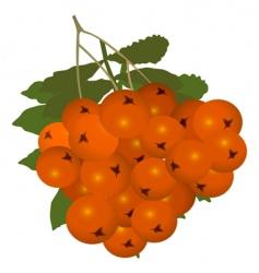rowan berry vector image