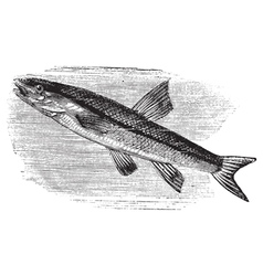 Blacknosed dace vintage engraving vector image
