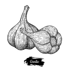 Garlic drawing isolated on white background vector