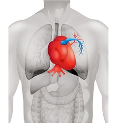 Human heart diagram in detail vector
