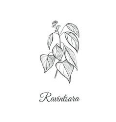 Ravintsara sketch hand drawing ravintsara vector