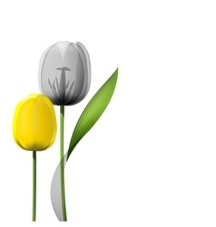 Yellow tulips isolated on white background vector image vector image