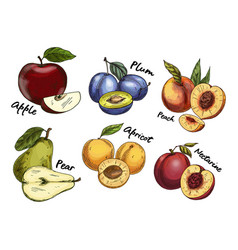 Sketches of apple and pear plum apricot fruits vector