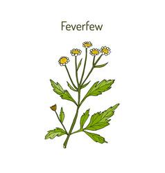 Feverfew - medicinal plant vector