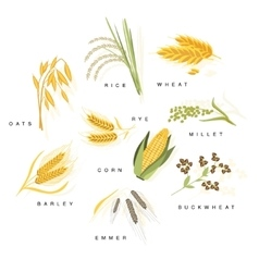 Cereal plants with names set vector