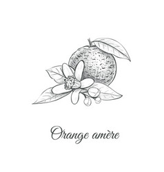 orange amere bitter orange vector image vector image
