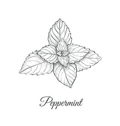 Peppermint skech hand drawing vector