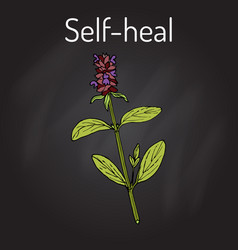 Self-heal prunella vulgaris or allheal vector