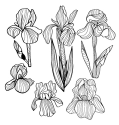 Blooming and budding iris flowers black and white vector