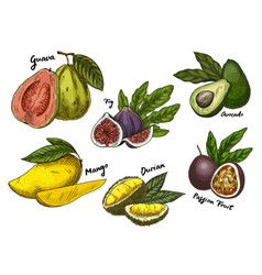 fig and guava avocado and mangomaracuya sketches vector image
