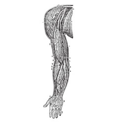 Veins of the arm and shoulder vintage vector
