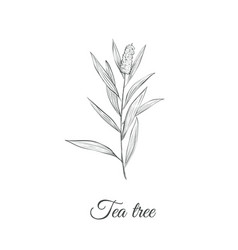 tea tree sketch branch vector image vector image