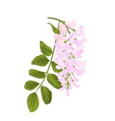 Locust tree twig with leaves and flowers vintage vector