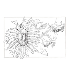 Sunflower in black and white vector image