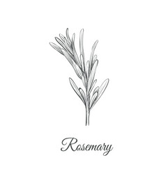 rosemary sketch hand drawing rosemary vector image vector image