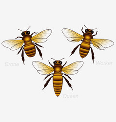set of three honey bees queen and worker and vector image