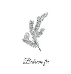 Balsamic fir sketch hand drawing vector