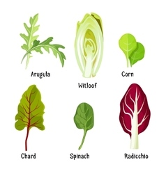 Collection of different plants arugula witloof vector