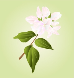 Philadelphus white flower false jasmine vector image